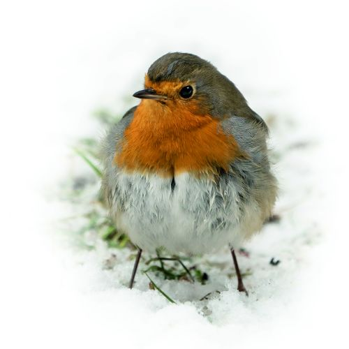 Fluffy Robin Redbreast